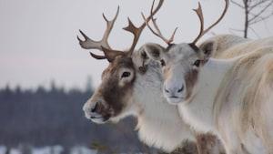 Préservation du caribou forestier de la Gaspésie:le défi de toute une région