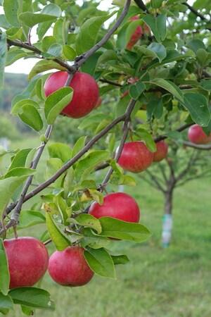Des pommes sur une branche de pommier.