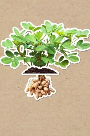 On voit des arachides dans les racines