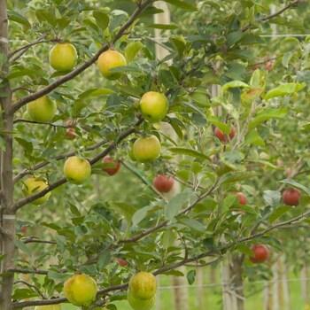 Des pommiers dans un verger.