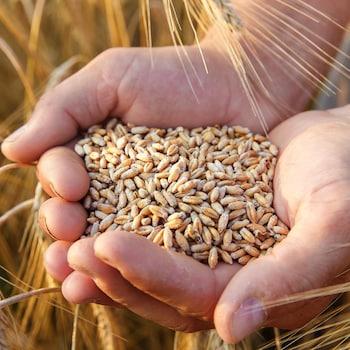 Une main tient des grains.