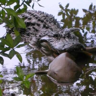 Un alligator attaque un requin.