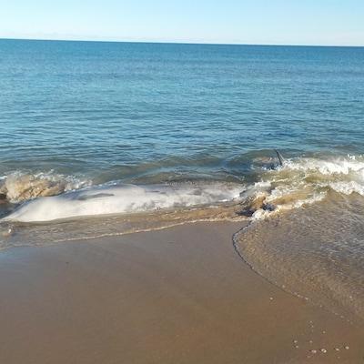 balaise échouée sur une plage