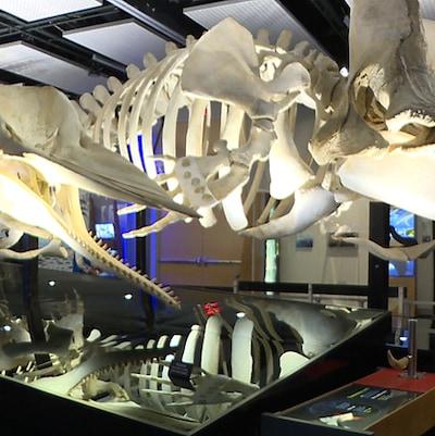 Deux squelettes de baleines dans une salle d'exposition