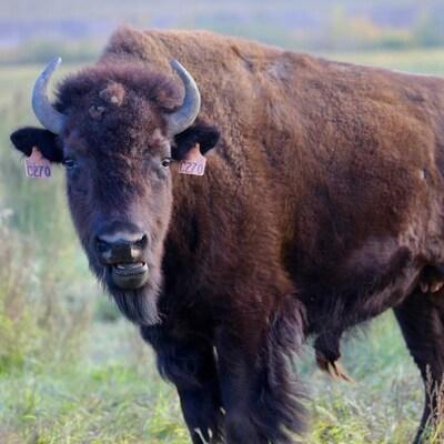 Un bison mâle au milieu d'un champ d'herbe.