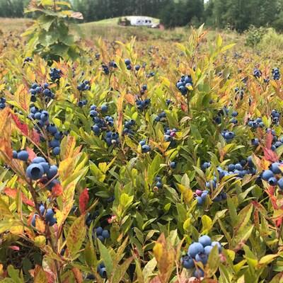 Des plants de bleuets sauvages.