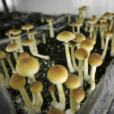 Vue sur un plant de champignons magiques