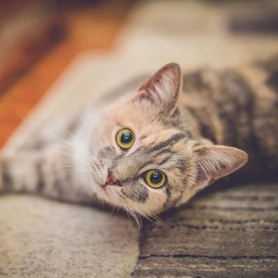 Un chat étendu par terre
