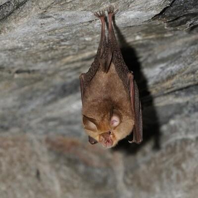 Une chauve-souris de l'espèce Rhinolophus ferrumequinum accrochée au plafond d'une grotte.