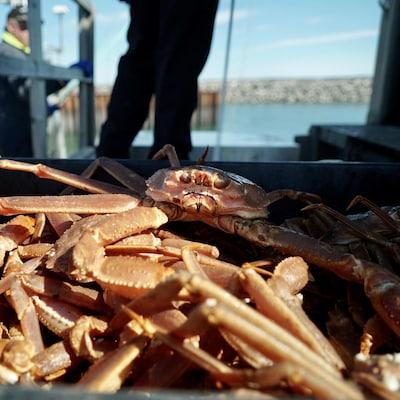 Débarquement de crabe des neiges au quai de Rimouski