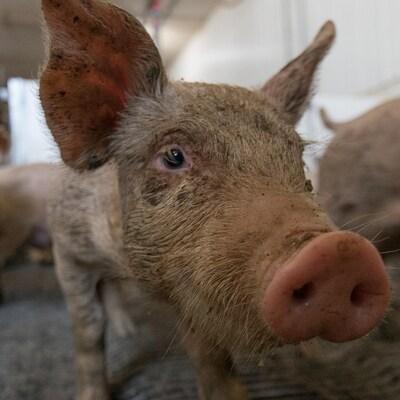 On voit en gros plan la tête d'un porcelet, dans un bâtiment de ferme. En arrière-plan on voit d'autres porcs dans l'enclos.