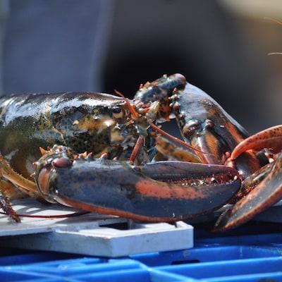 Gros plan sur deux homards vivants