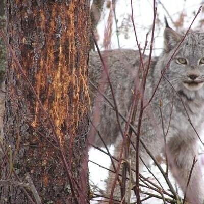 Un lynx du Canada près d'un arbre en hiver.