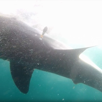 L'étiquette satellite d'archivage sur le grand requin blanc, le 13 septembre 2018.