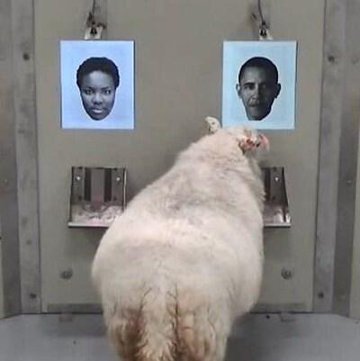 Les chercheurs ont entraîné les moutons à reconnaître les visages de quatre célébrités: Emma Watson, Jake Gyllenhaal, Barack Obama et une journaliste britannique nommée Fiona Bruce.