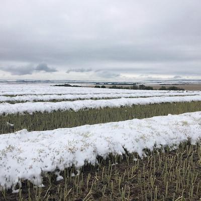 Un champ de canola est partiellement recouvert de neige sous un ciel nuageux