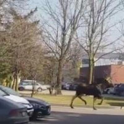 Photo de l'orignal qui court entre les voitures dans un terrain de stationnement.