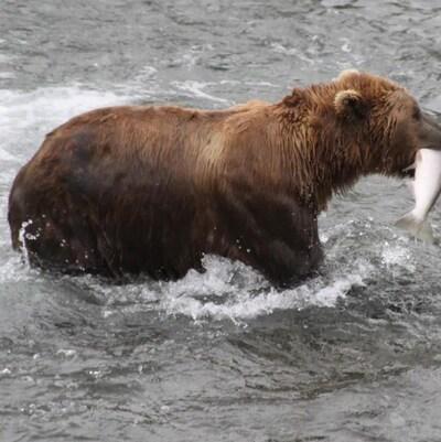 Un ours brun tenant un saumon dans la gueule