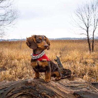 Un petit chien pose avec un collier de la collection dans un champ.