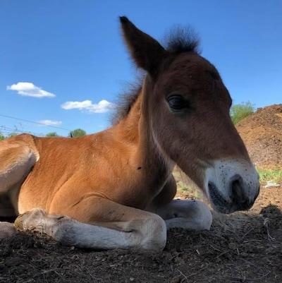 Un poney de Terre-Neuve allongé.