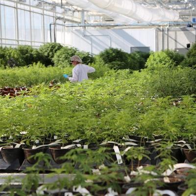 Une femme se déplace au milieu de plants de marijuana dans une serre.