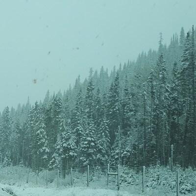 De la neige recouvre des conifères.