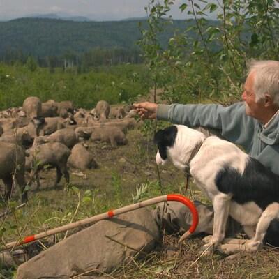 Un berger et son chien veille sur un troupeau de moutons dans une forêt de la Colombie-Britannique