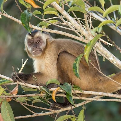 Un singe capucin dans la forêt amazonienne au Brésil