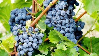 Des raisins photographiés sur la propriété du vignoble L'Orpailleur