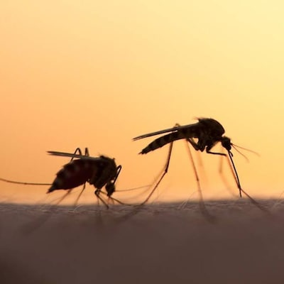 Deux moustiques sont posés sur une peau.