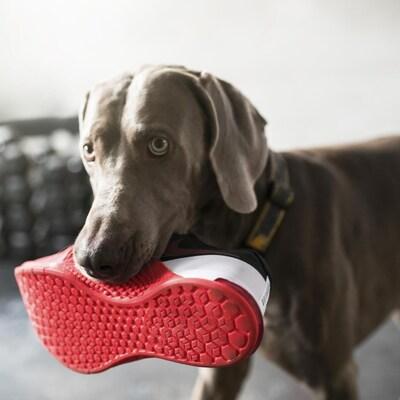 Un chien tient dans sa gueule une espadrille.