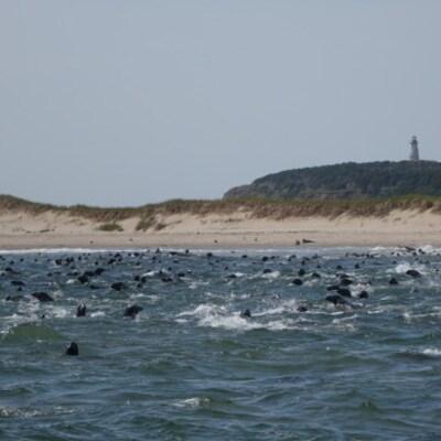 Le cheptel de phoques gris près de l'île Brion, une réserve écologique à 16 kilomètres au large des Îles-de-la-Madeleine.