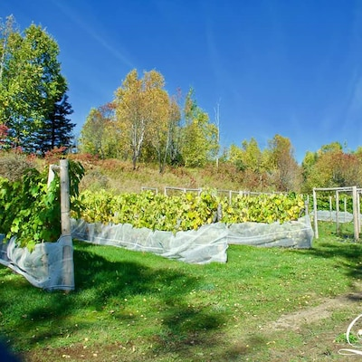 Vignoble Domaine Côte du Nord, à Ragueneau, Côte-Nord