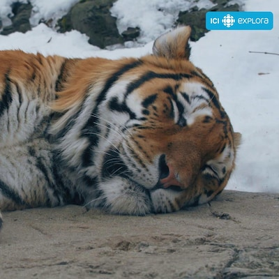 Un tigre de l'Amour est couché sur une roche. À l'extérieur, c'est l'hiver.