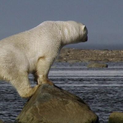 Un ours polaire a grimpé sur des roches sur le bord de l'eau.