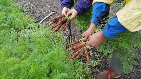 Deux paires de mains tiennent des carottes au-dessus de plants