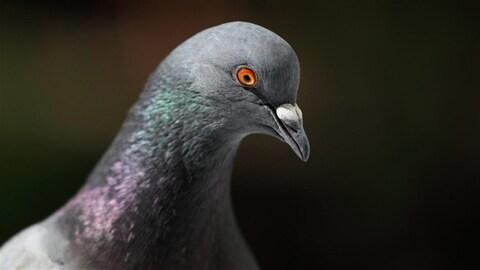 Les pigeons meilleurs que les humains en mode multitâche