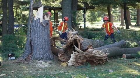 Trois travailleurs autour de larges troncs jonchant le sol.