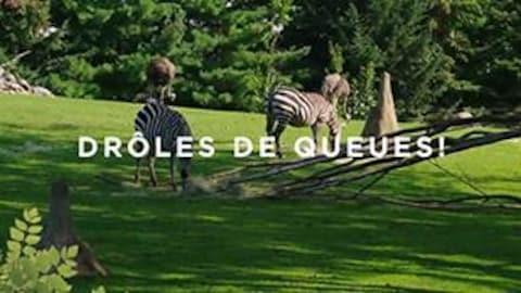 Une nouvelle capsule vie de zoo sur l'utilité de la queue chez certains animaux.