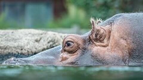 Hippopotame du zoo de Granby.