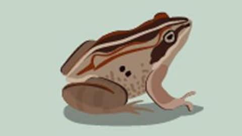 Dessin d'une grenouille, l'un des animaux qui excellent dans l'adaptation au froid du Québec.