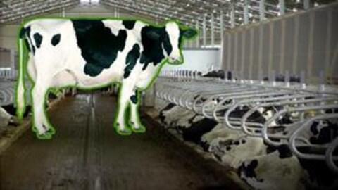 Une vache dans une grange