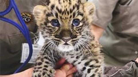 Milan, le petit léopard de l'Amour du Zoo de Granby, a subi son premier examen vétérinaire et reçu son premier vaccin.