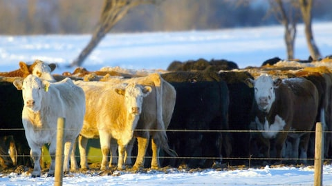 Des vaches sont attroupées dans un champ enneigé.