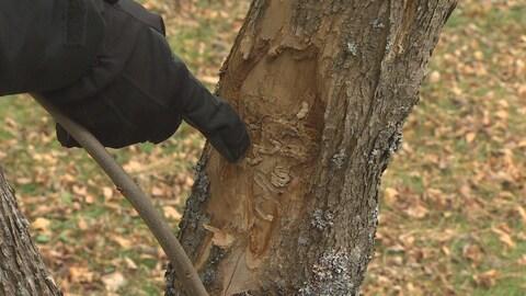 Des dommages sous l'écorce d'un frêne.