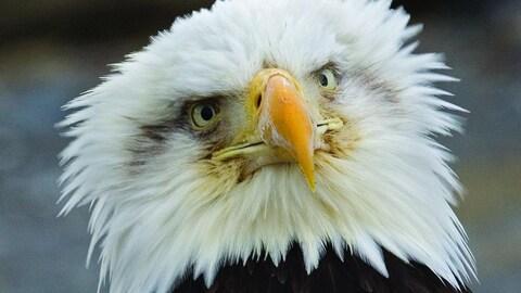 Un aigle.