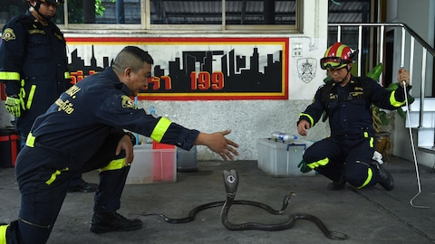 This photo taken on June 15, 2018 shows Thai firefighter and snake expert Sutaphong Suepchai (2nd-L) facing a cobra during a snake-catching training session for firefighters at a fire station in Bangkok. - Snakes are a common sight in Bangkok, a bustling city built on once swampy land, and it is not unusual to see them slithering across public spaces like parks, water canals and schools. (Photo by Lillian SUWANRUMPHA / AFP) / TO GO WITH STORY: Thailand snakes reptiles animal        (Photo credi