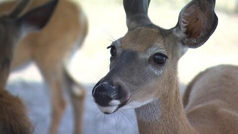 Sur Anticosti, le cerf de Virginie se laisse apprivoiser.