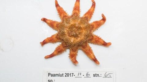 Une étoile de mer commune au Saint-Laurent et à l'océan Arctique