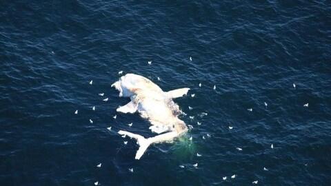 Baleine morte flottant sur l'eau.